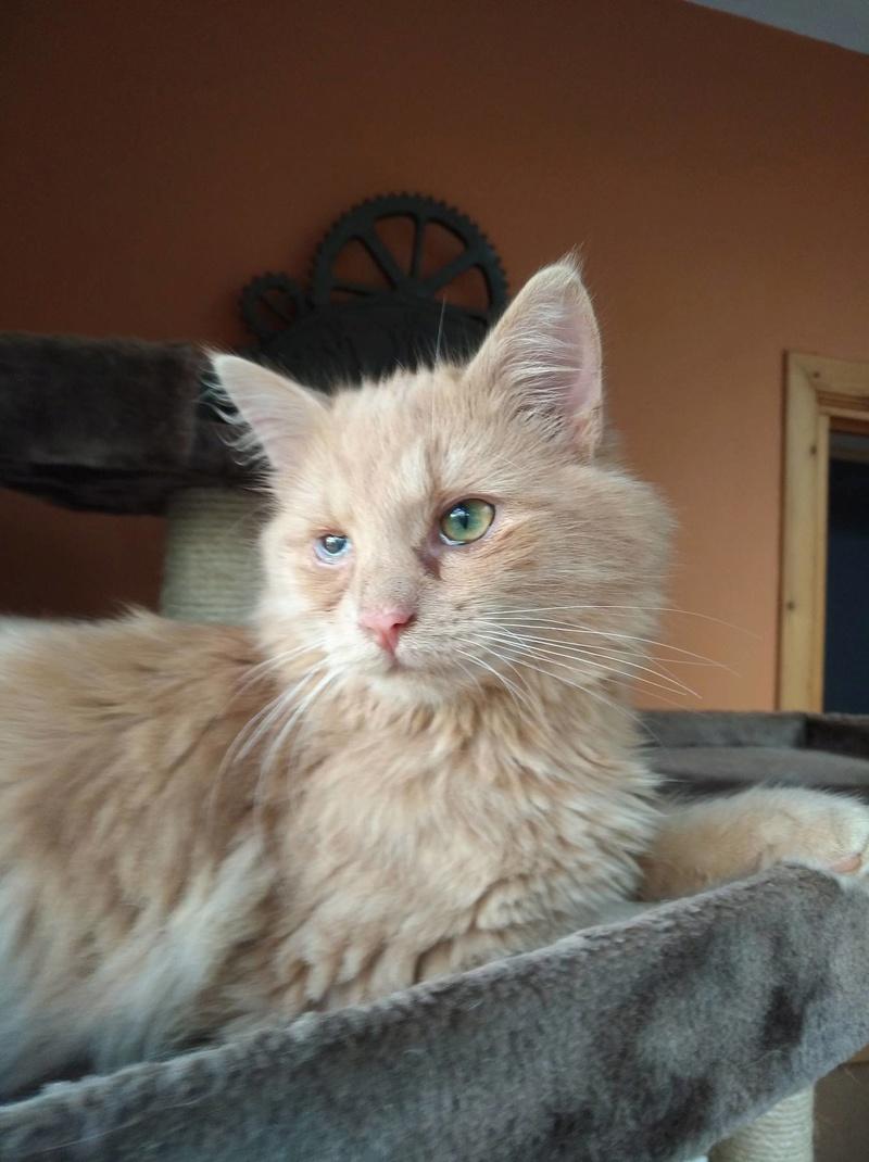Boule, adorable chaton sable à poils mi longs 23760310