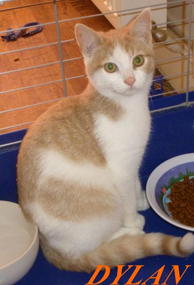 DYLAN, très beau chaton mâle de 5 mois, roux clair et blanc Dylanp10