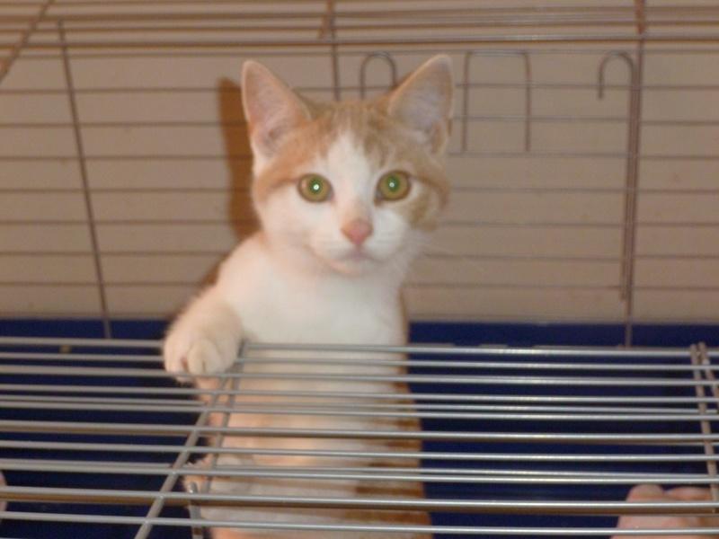 DYLAN, très beau chaton mâle de 5 mois, roux clair et blanc Dylanp11