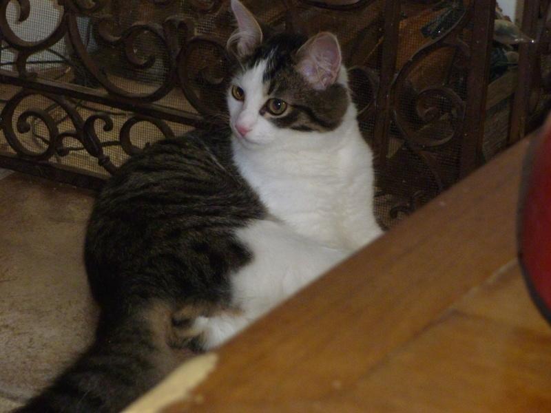 WILSON, adorable chaton blanc et brun à poils mi longs de 3 mois P1040714