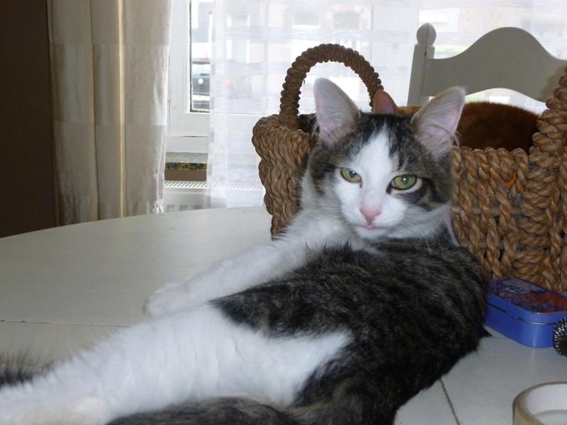 WILSON, adorable chaton blanc et brun à poils mi longs de 3 mois P1040811