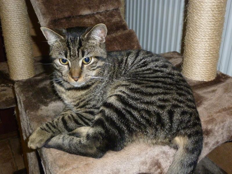 TIM, adorable chaton tigré foncé de 6 mois P1040813