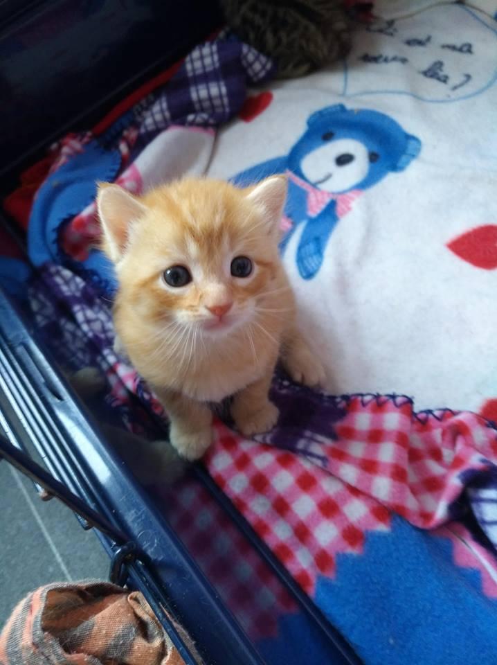 LUCIUS, chaton roux clair de Louna Rouxcl13