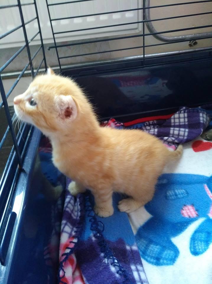 LUCIUS, chaton roux clair de Louna Rouxcl14