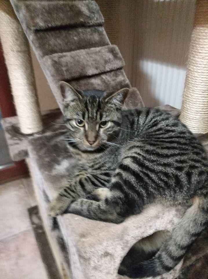 TIM, adorable chaton tigré foncé de 6 mois Tim10