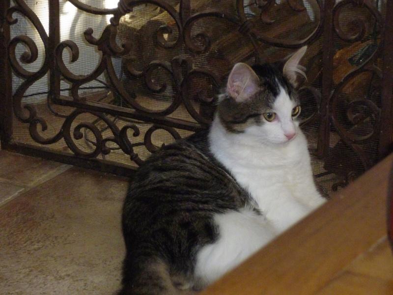 WILSON, adorable chaton blanc et brun à poils mi longs de 3 mois Wilson10