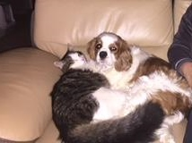 WILSON, adorable chaton blanc et brun à poils mi longs de 3 mois Wilson11