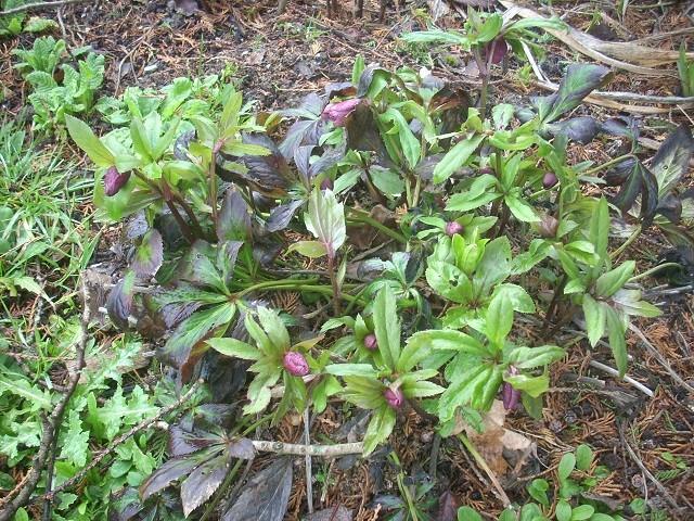 Helleborus niger ou Rose de noel ou Hellebore - Page 32 Ss12