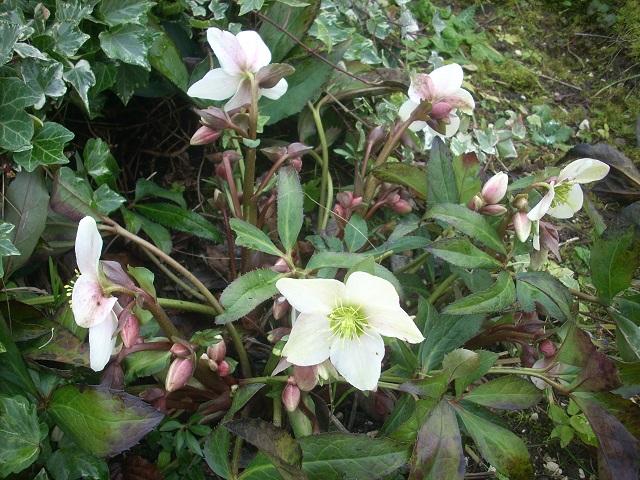 Helleborus niger ou Rose de noel ou Hellebore - Page 32 Vv13