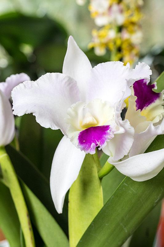 Orchideen-Neuzugang - Seite 41 Cattle10
