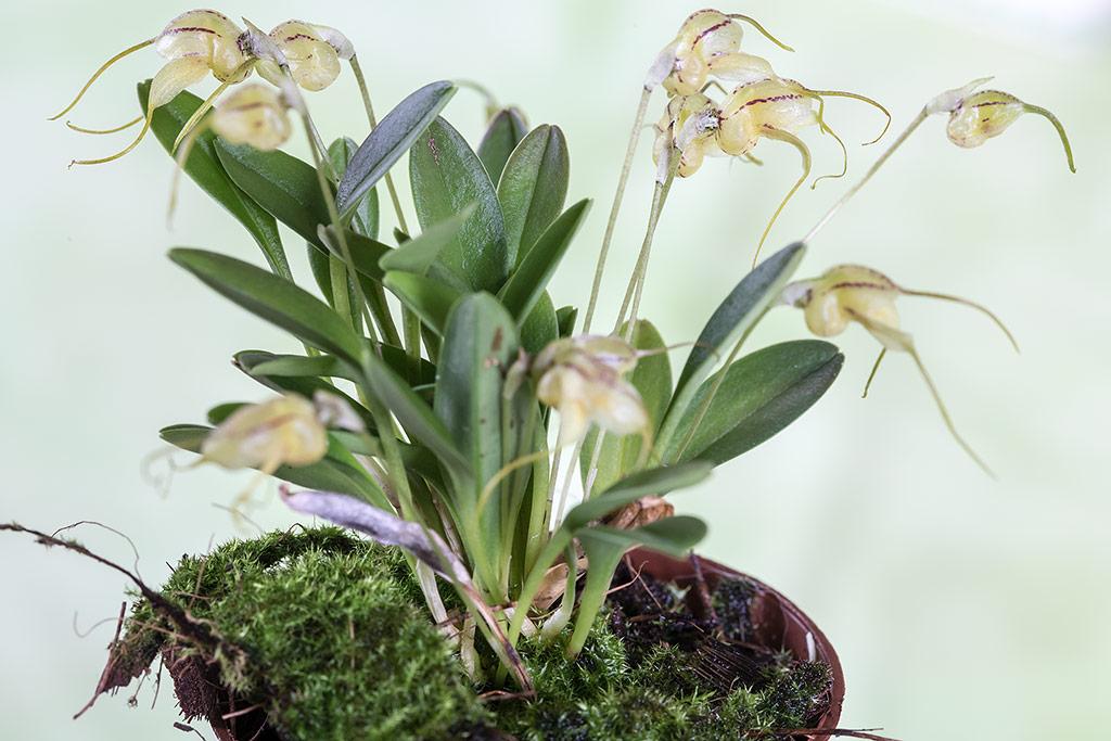 Orchideen-Neuzugang - Seite 41 Masdev10