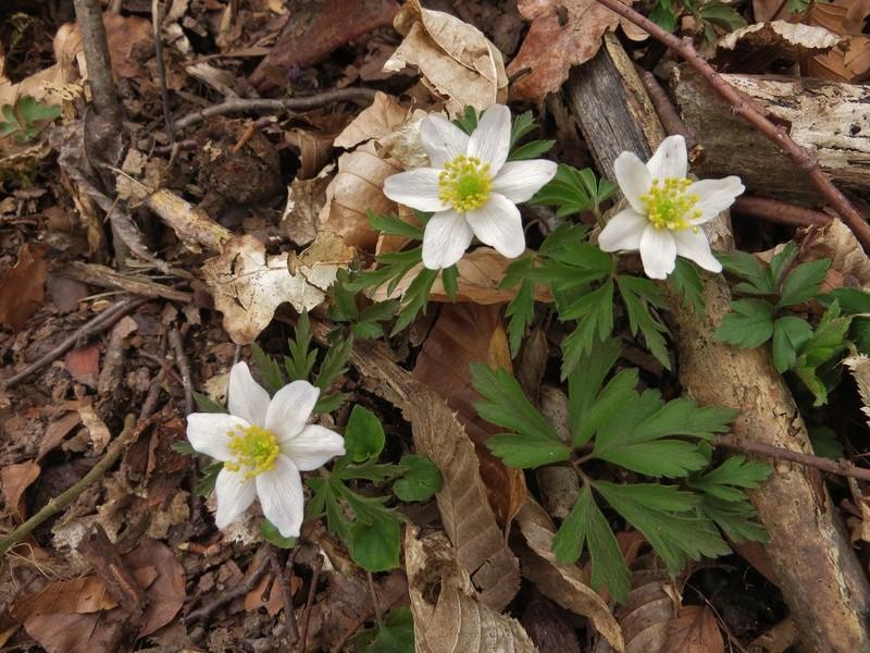 Erste Frühlingsboten im Garten und in Wald und Flur - Seite 65 Img_7910
