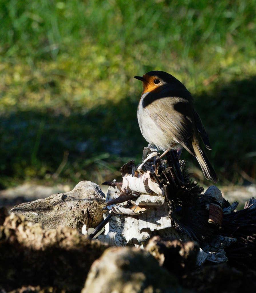 Oiseaux du jardin P2260410