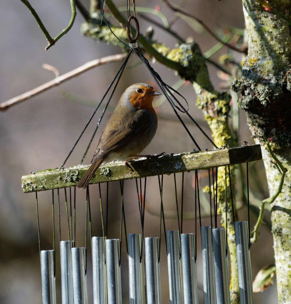 Oiseaux du jardin P2260411