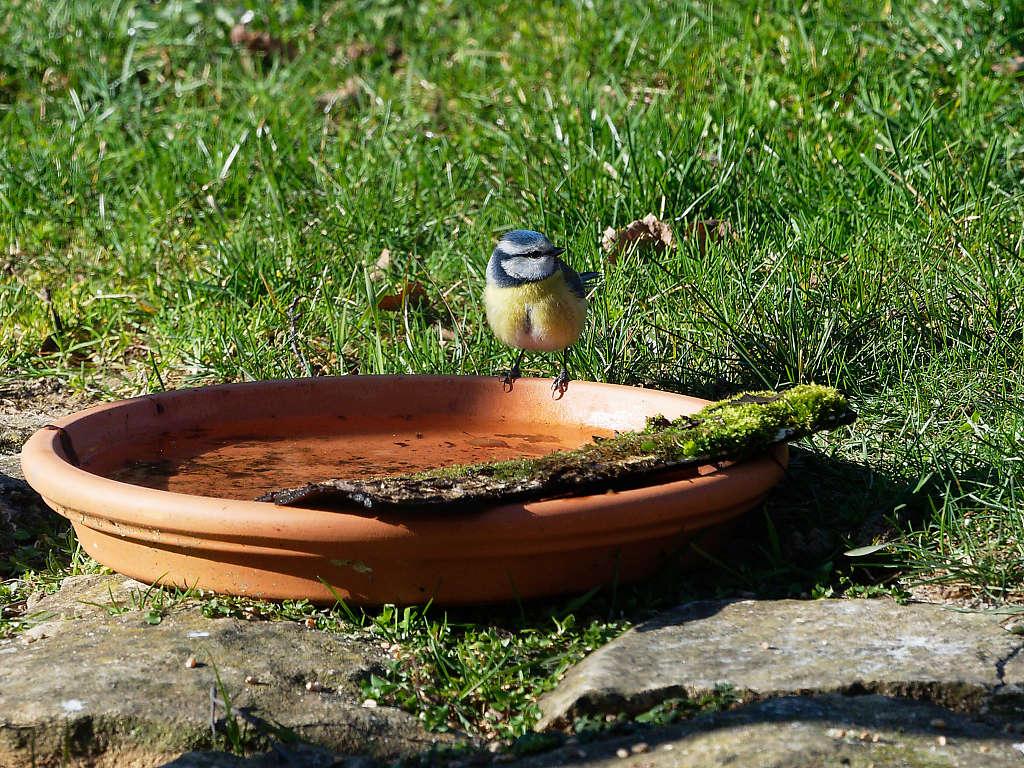 Oiseaux du jardin P2260413