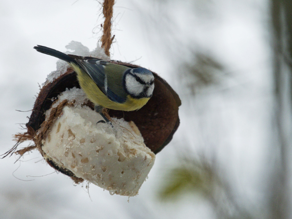 Les noix de coco ont tourné Pc181210