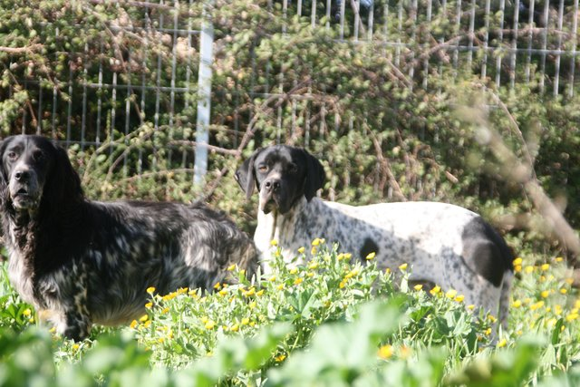 Setter Bertie und Pointer Wallace 31684510