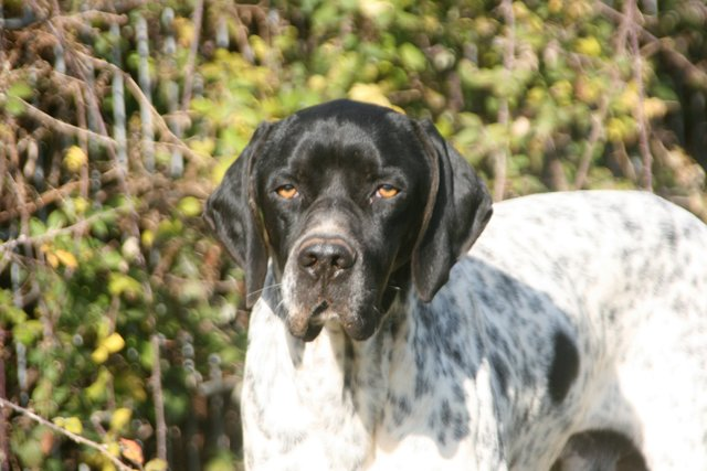 Setter Bertie und Pointer Wallace 31684511