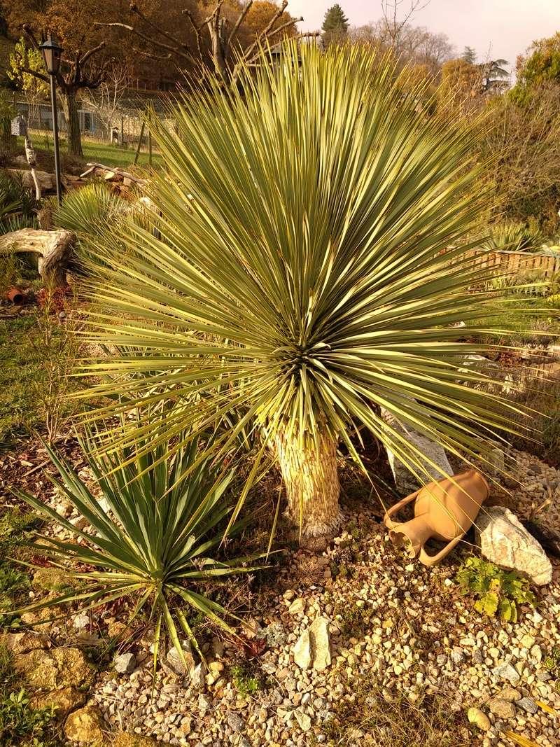 Yucca rostrata Img_2014