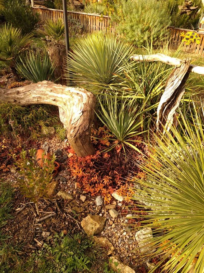 Yucca rostrata Img_2018