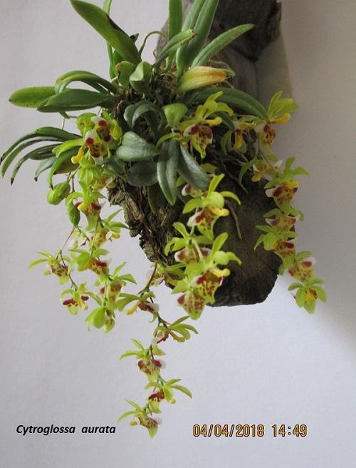 Miniatur-Orchideen Teil 4 - Seite 6 04_04_10
