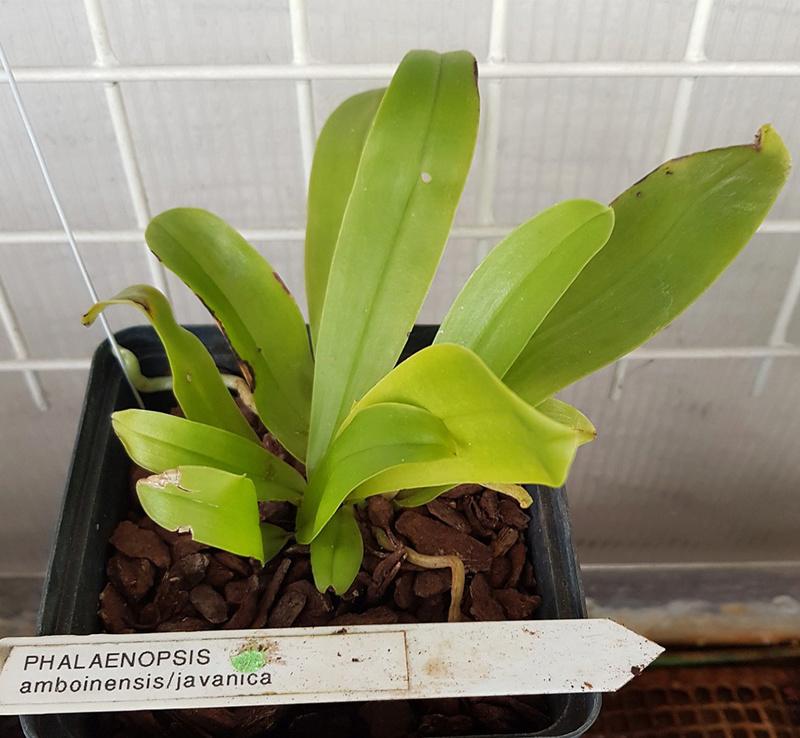 Phalaenopsis amboinensis x javanica (Kenanga) 20180534