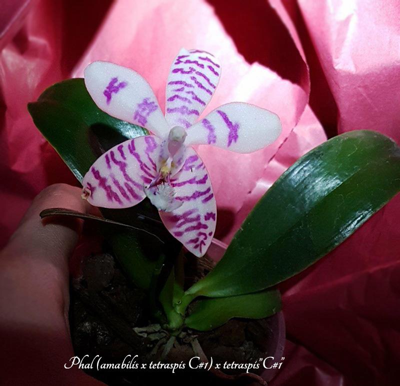 Orchideen-Neuzugang 2 28579811