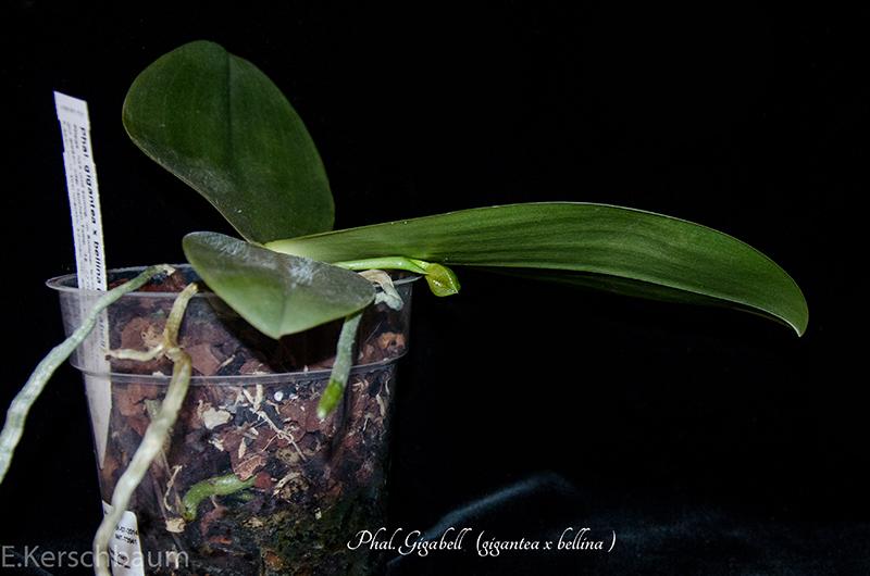 Phalaenopsis gigantea x bellina (Gigabell) Dsc_0306