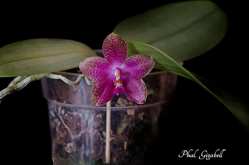 Phalaenopsis gigantea x bellina (Gigabell) Dsc_0389