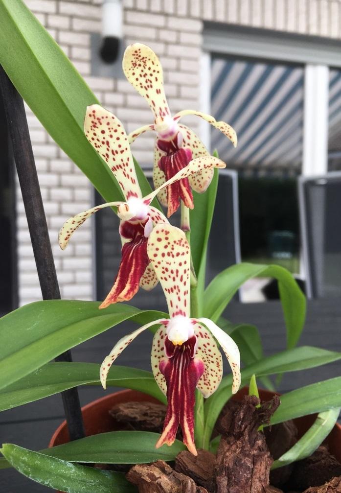 Orchideen-Neuzugang 2 - Seite 3 25_05_13