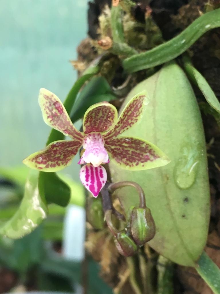Phalaenopsis braceana x finleyi (Lea Mini) Phal_f11