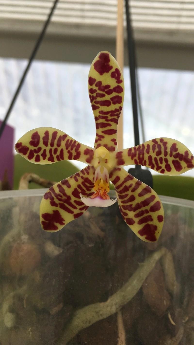 Phalaenopsis gigantea x mannii (Rosie Clouse) - Seite 2 Phal_r12
