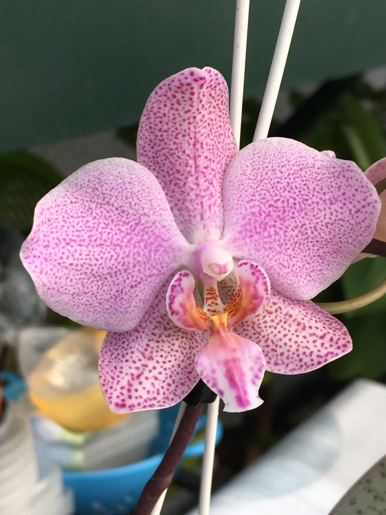 Phalaenopsis schilleriana x gigantea (Schillgig) - Seite 2 Phal_s15
