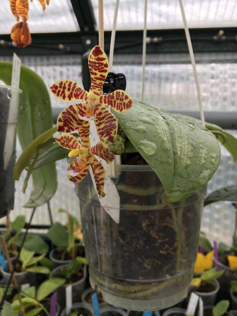 Phalaenopsis gigantea x mannii (Rosie Clouse) Rosie_10