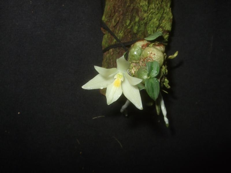 Constantia cipoensis Consta10