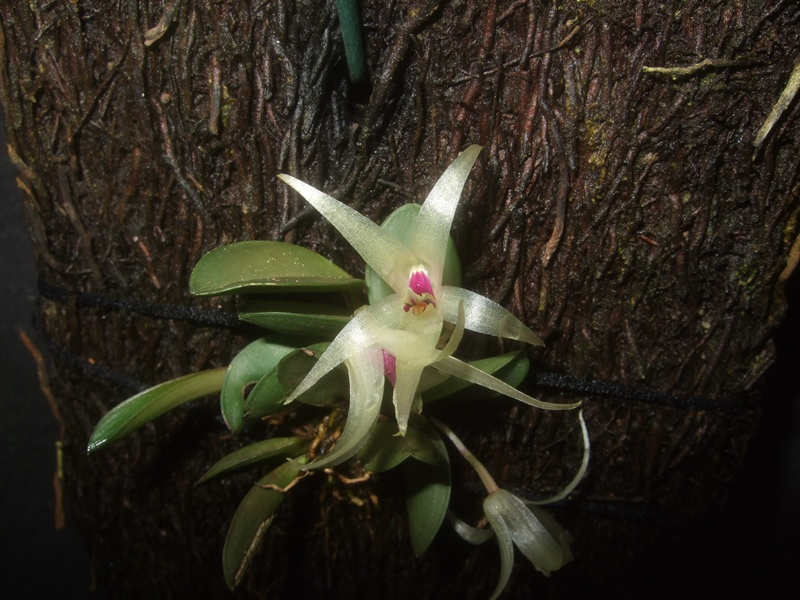 Octomeria estrellensis Octome10