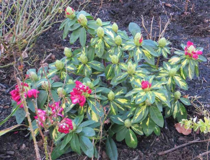 rhododendron président Roosevelt 00118