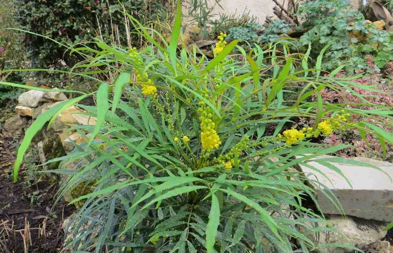 mahonia soft caress Mahoni11