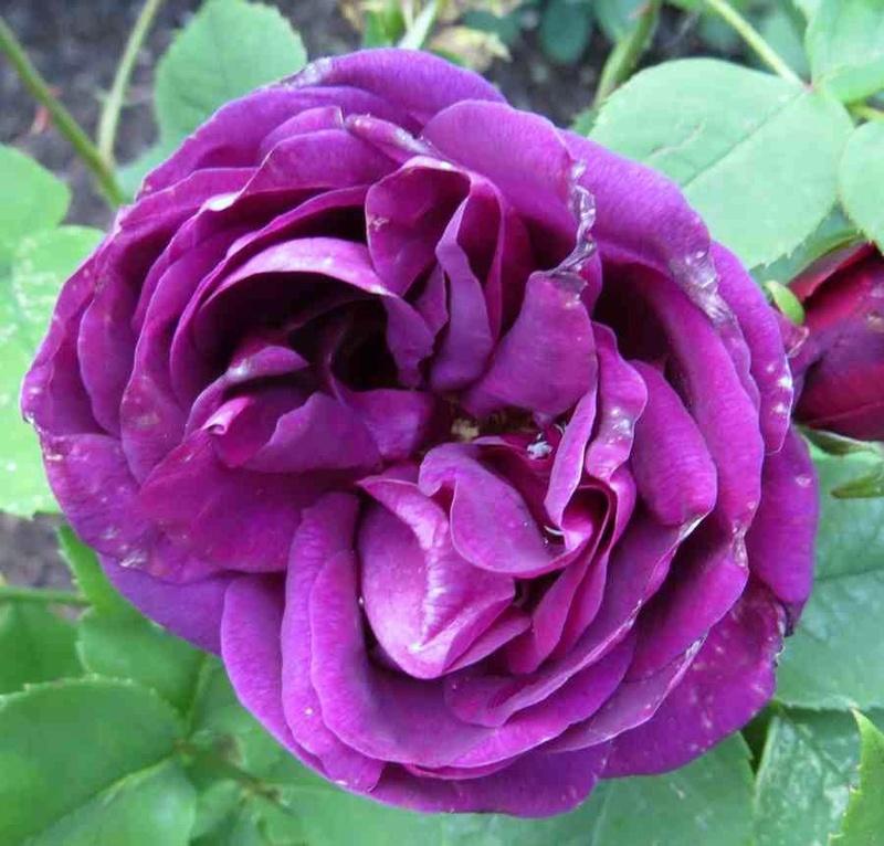 rose du roi à fleurs pourpres Roi_de10