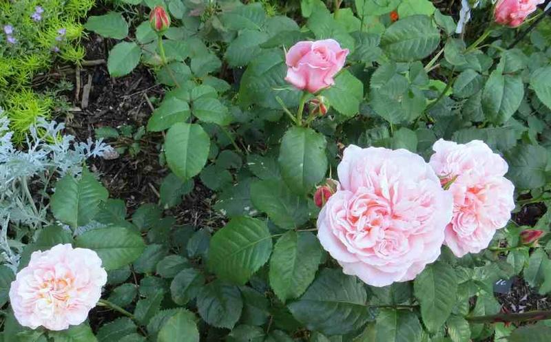 rose de Tolbiac Rose_d11