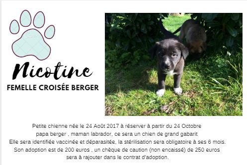 NICOTINE, chiot femelle croisé berger, 2 mois 22405411