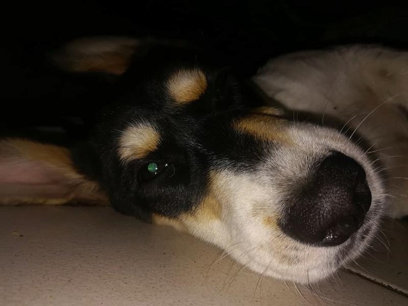 NESQUICK, chiot mâle croisé beagle / basset, 4 mois et demi 24129710