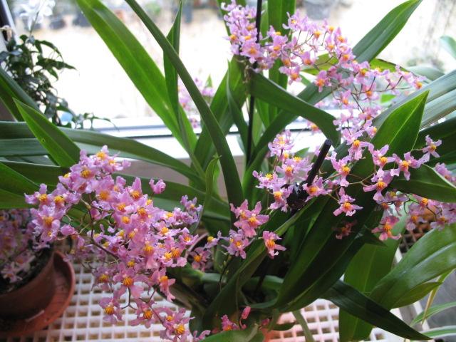Oncidium sotoanum (syn. Onc.  ornithorhynchum hort.) Img_2819