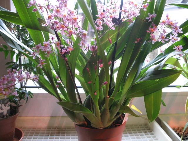 Oncidium sotoanum (syn. Onc.  ornithorhynchum hort.) Img_2820
