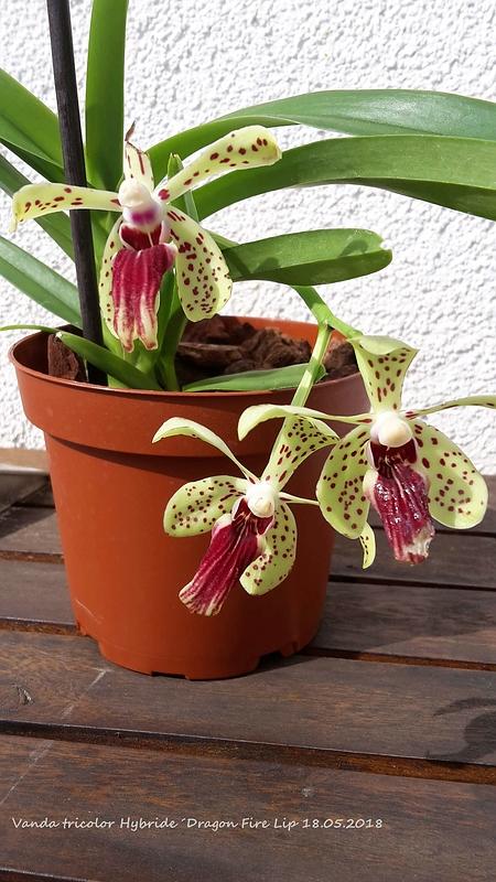 Orchideen-Neuzugang 2 - Seite 3 20180510
