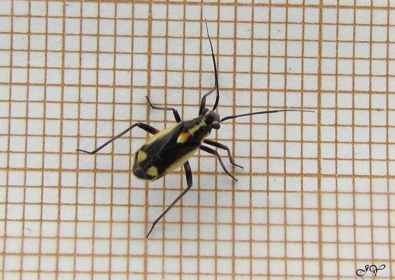 [Capsodes sulcatus_Dryophilocoris flavoquadrimaculatus] Miridae. _capso10