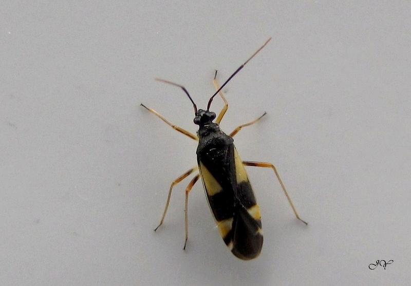 [Capsodes sulcatus_Dryophilocoris flavoquadrimaculatus] Miridae. Cappso10