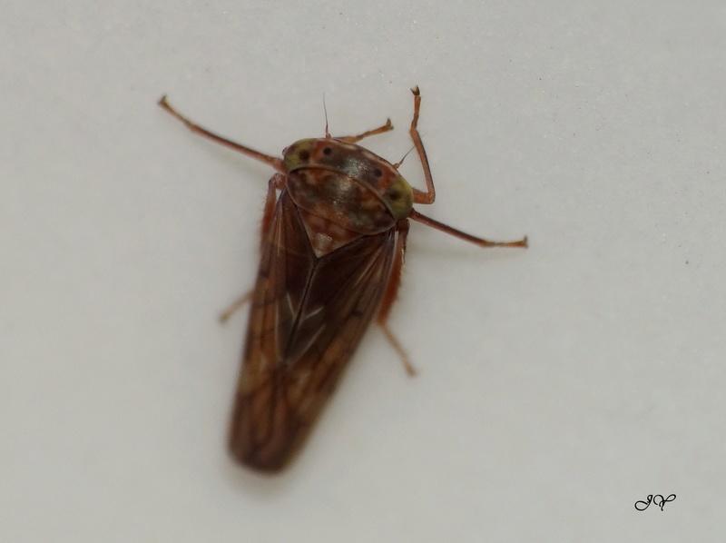 [Idiocerinae] Cicadellidae. Cicade10