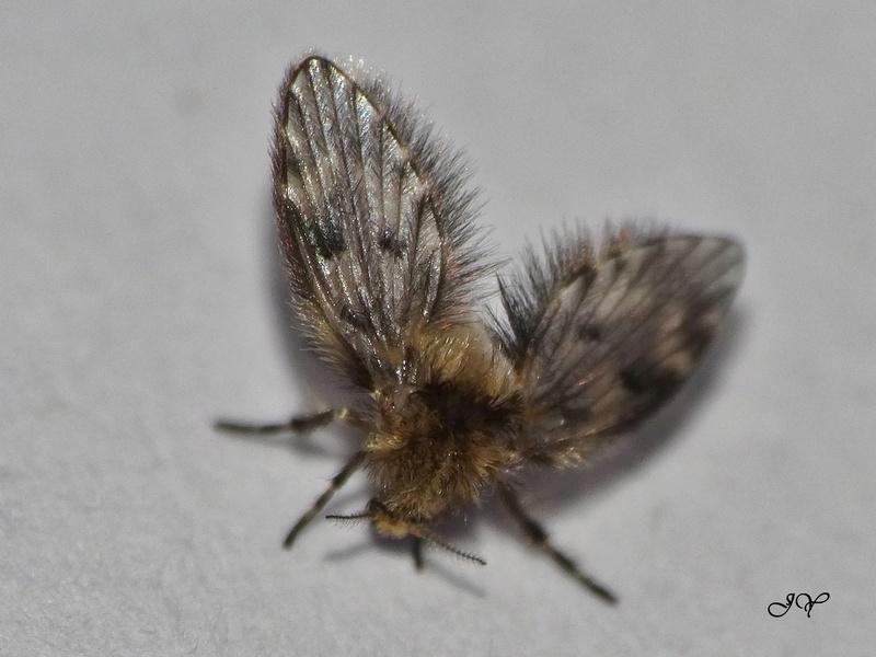 Psychodidae. Copie_12