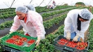 شركة فلاحية بإسبانيا توظيف عمال و عاملات فلاحة موسيمين لجني الفراولة  بدون مستوى تعليمي D_ioa_10